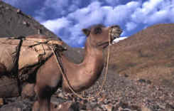 Silk Road Camel lost in thought